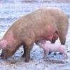Researchers say overuse of antiobiotic use in pigs responsible for making infectious microbes stronger