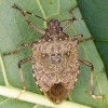 Pest Or Delicacy? Stinkbugs Destroying Crops On East Coast