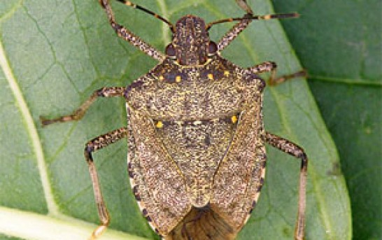 Stinkbugs dropping like flies this winter thanks to polar vortex
