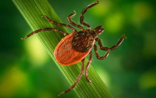 Lyme Disease and Anaplasmosis Spread By Ticks Feared From China