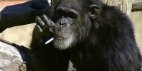 Charlie The Smoking Chimp is Dead