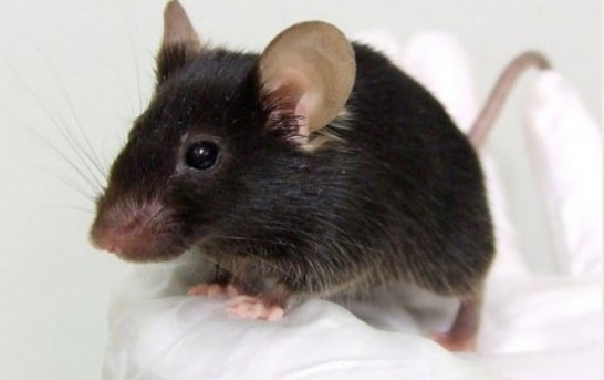Japanese Produce Genetically Modified Singing Mouse