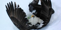 Hungry Eagles Found Starving Falling From Sky