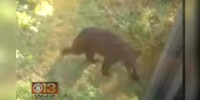 Black bear caught wandering around Ellicott City and Columbia