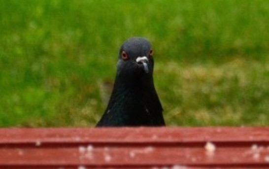 The Heartbreaking Story Told Through The Eyes of An Internet Pigeon