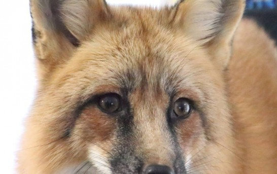 These people are living with a fox, and his name is Loki