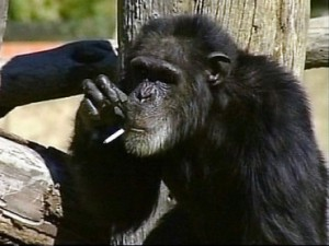 Charlie the smoking chimp was 52