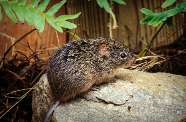 This photograph depicts a Cotton Rat (Sigmodon hispidus), whose habitat includes the southeastern United States, and way down into Central and South America. Its body is larger than the deer mouse, Peromyscus maniculatus, and measures about 13-18 cm, which includes the head and body; the tail measures an additional 7-10 cm. Its hair is longer and coarser than P. maniculatus, and is a grayish-brown color, sometimes grayish-black. The cotton rat prefers overgrown areas with shrubs and tall grasses.