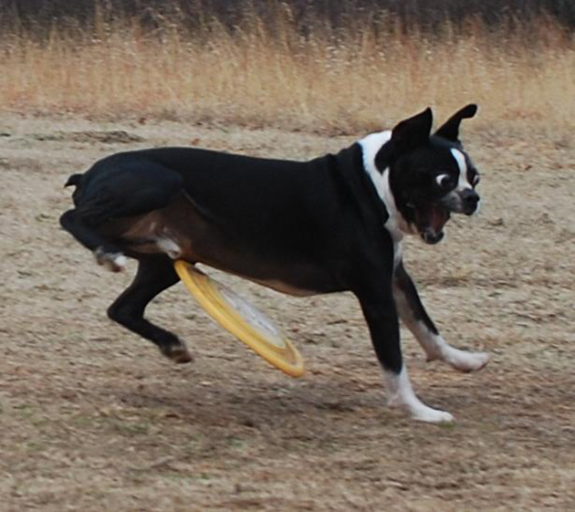 dog about to get hit in the balls by a frisbee