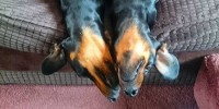 Twin Weiner Dogs Hanging Out