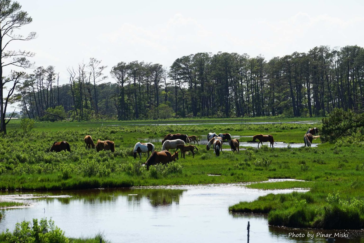 The infamous wild Chincoteague Island ponies